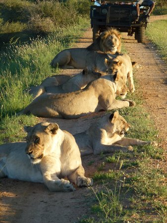 Madikwe River Lodge: Pride of Lions on the road