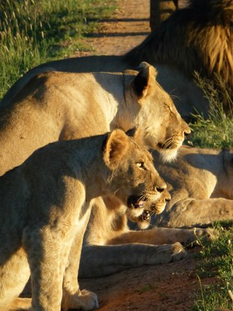 Three Cities Madikwe River Lodge: lions