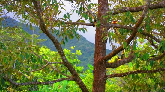 Cape Trib Farmstay B&B: Native Parakeets