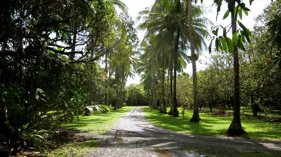 Cape Trib Farmstay B&B: Coconut Trees