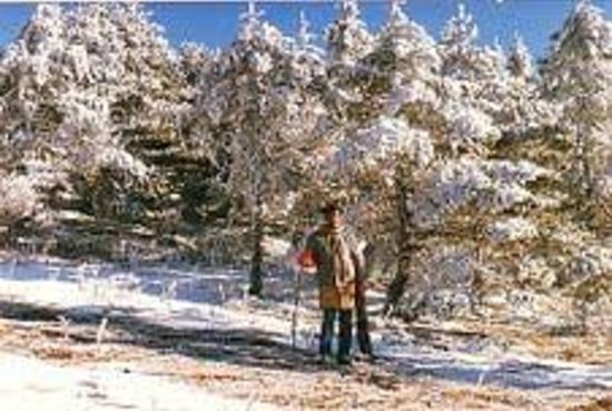 Sandakphu: Silvery trees 