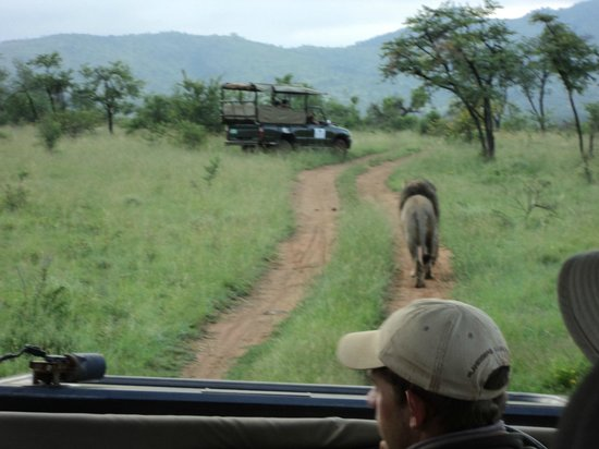 Shepherd's Tree Game Lodge: A lion casually strolling in front of us