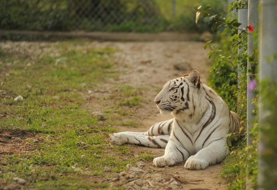 Zoological Wildlife Foundation: One of our female Bengal Tigers!