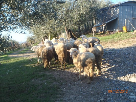 La Collina degli Olivi: Pecore al pascolo ...