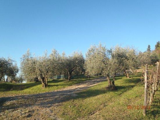 La Collina degli Olivi: Ulivi