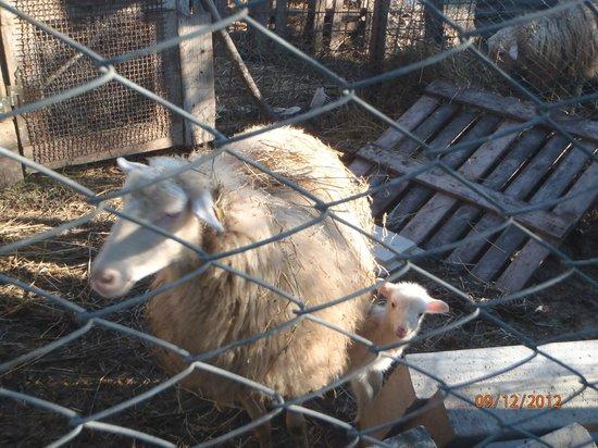 La Collina degli Olivi: Pecora e agnellino nato da poco ....