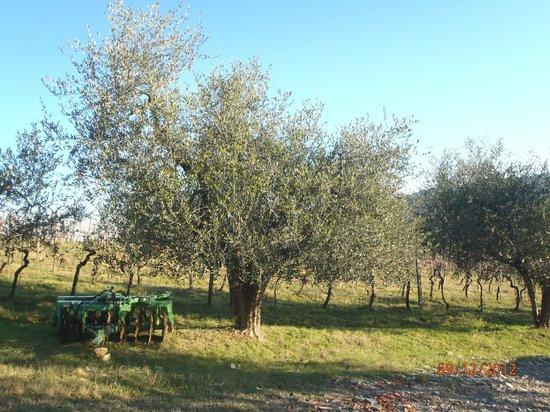La Collina degli Olivi: Ulivo
