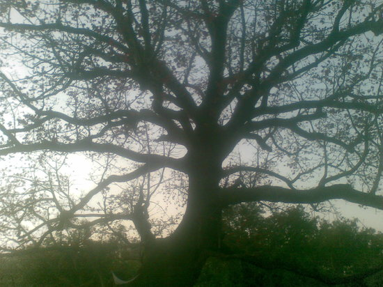 Pachmarhi, Индия: An interesting tree.