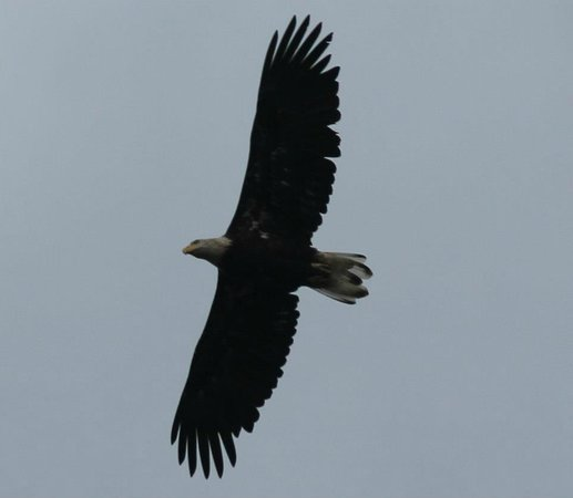 Hideaway Cove Wilderness Lodge: Eagles soar around the lodge