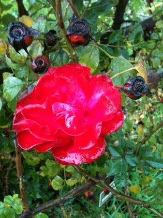 لافي كيبوتس هوتل: Rose in the kibbutz' garden