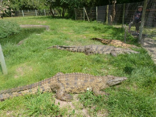 Gooderson DumaZulu Lodge and Traditional Zulu Village: Crocodiles in park