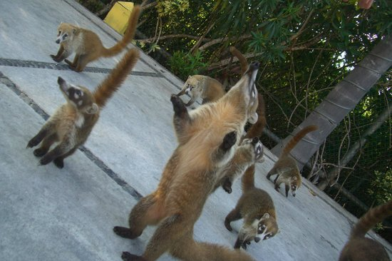 Bel Air Collection Xpu Ha Riviera Maya: DONT FEED THE COATIS