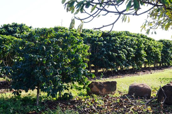 Kauai Coffee Company : Coffee plants