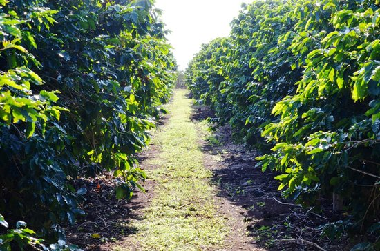 Kauai Coffee Company: Rows of coffee plants