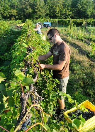 Lincoln Peak Vineyard: Harvest time!