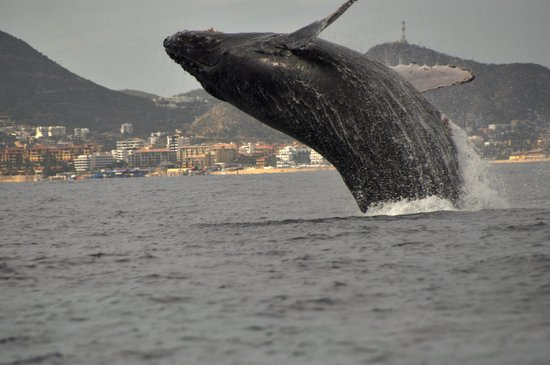 Whale Watch Cabo: Humpback Whale in full breach!