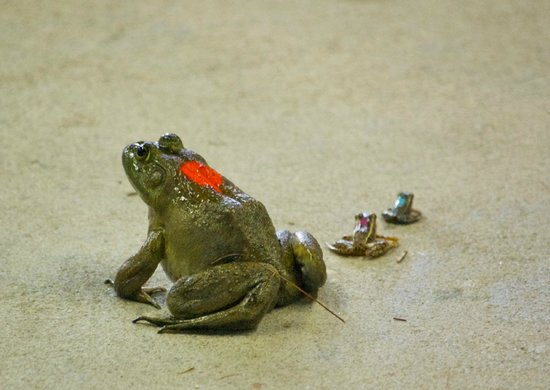 Whispering Pines Campground: Frogs at the kids frog race