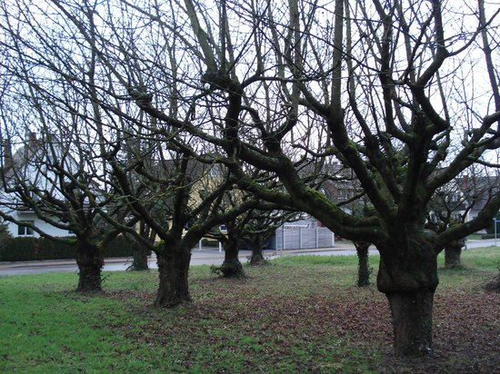 Gastehaus Obsthof : Il giardino con piante di ciliegio