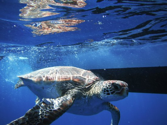 Pension Hibiscus Tahaa: au revoir et remise à l' eau au grand large d' une tortuue de Leo