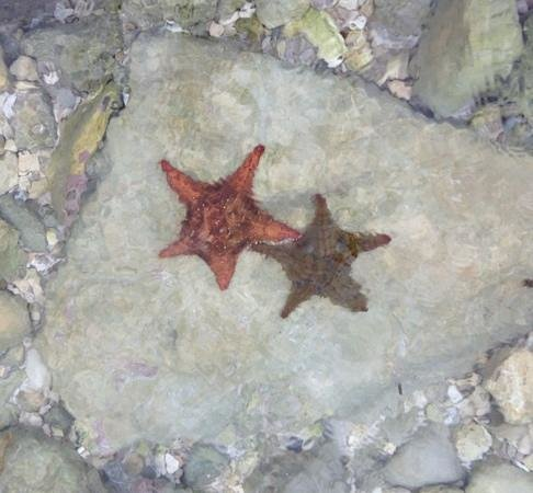 Secrets Wild Orchid Montego Bay: starfish next to pier between wild orchid preferred club and outdoor theater