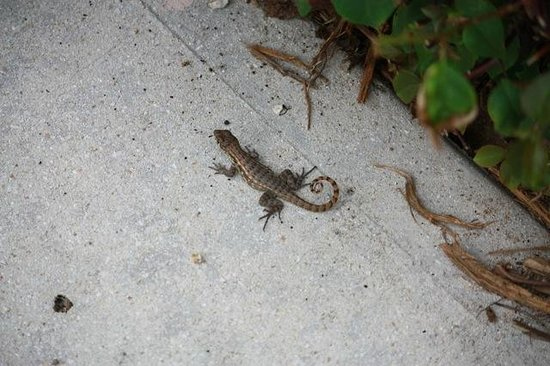 The Grandview Condos Cayman Islands: No iguanas but plenty of these cute little guys