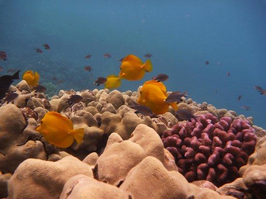 Honolua Bay: Yellow tang and the gang