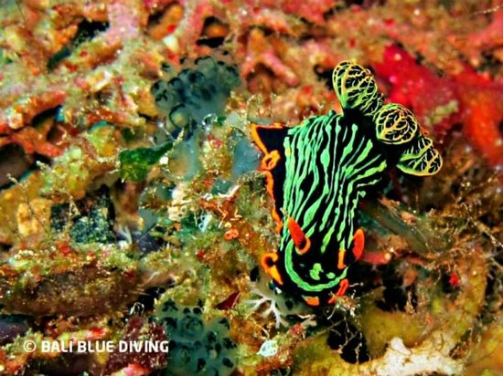 "Bali Blue Diving PADI Resort: Variable neon slug ""Nembrotha kubaryana"", Amed, Bali."