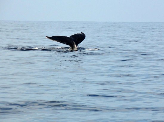 Captain Dan McSweeney's Whale Watching Adventures: Whale tail