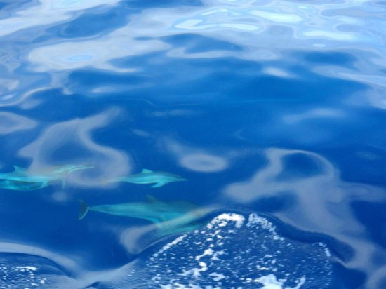 Captain Dan McSweeney's Whale Watching Adventures: Spinner dolphins
