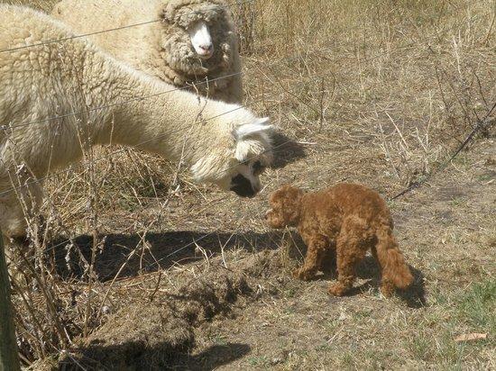 Codrington Gardens: oscar meeting one of the llamas
