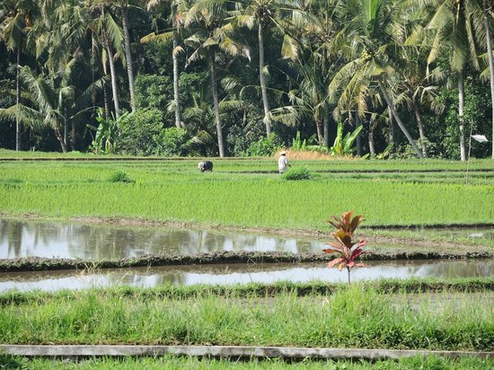 The Chedi Club Tanah Gajah, Ubud, Bali – a GHM hotel: Rice paddies