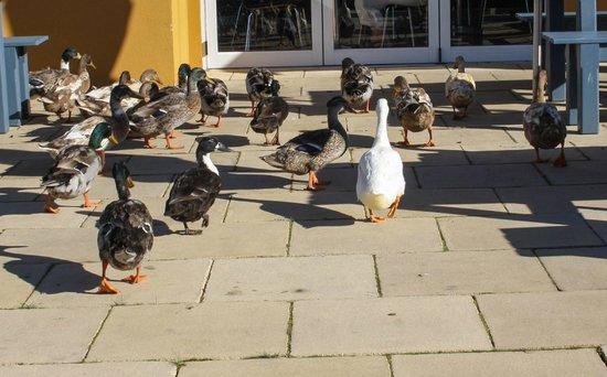 Tarraleah Estate : Welcomed by Ducks