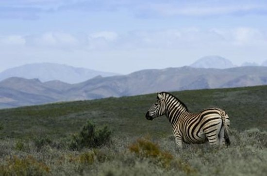 Sanbona Wildlife Reserve - Tilney Manor, Dwyka Tented Lodge, Gondwana Lodge : Zebra near welcome lodge