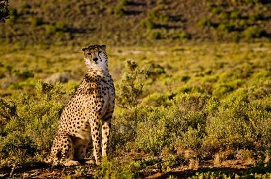 ‪‪Sanbona Wildlife Reserve - Tilney Manor, Dwyka Tented Lodge, Gondwana Lodge‬: Cheetah