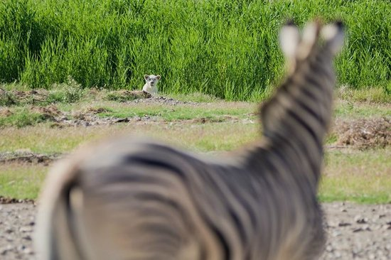 Sanbona Wildlife Reserve - Tilney Manor, Dwyka Tented Lodge, Gondwana Lodge: Stand-Off
