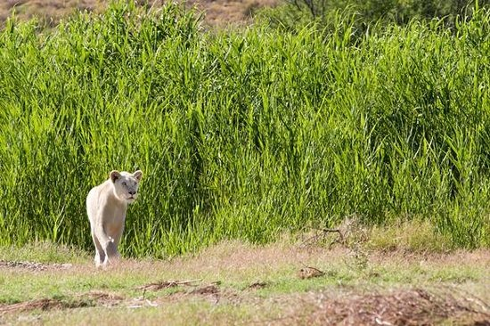 ‪‪Sanbona Wildlife Reserve - Tilney Manor, Dwyka Tented Lodge, Gondwana Lodge‬: White Lioness