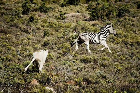 Sanbona Wildlife Reserve - Tilney Manor, Dwyka Tented Lodge, Gondwana Lodge: Attempted Kill