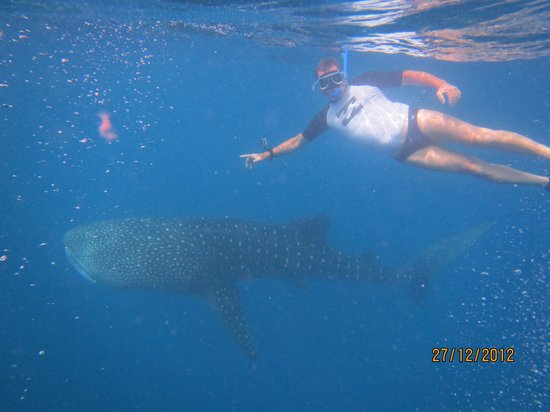 Coco Grove Beach Resort : Diving with whale sharks