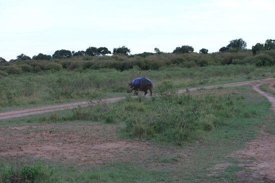 Entim Camp: Hippo crossing the road