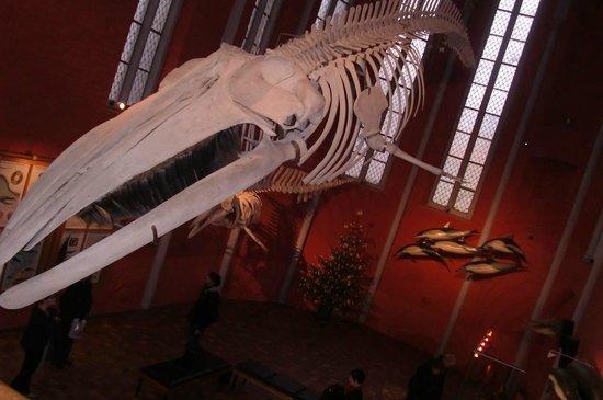 Deutsches Meeresmuseum: Skelett eines Meeresbewohners