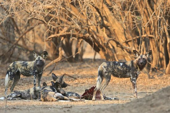 Camping Sites at Mana Pools National Park: African Painted Dogs