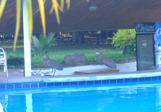 Crocodile Bay Resort: Tiger Herons visiting the pool