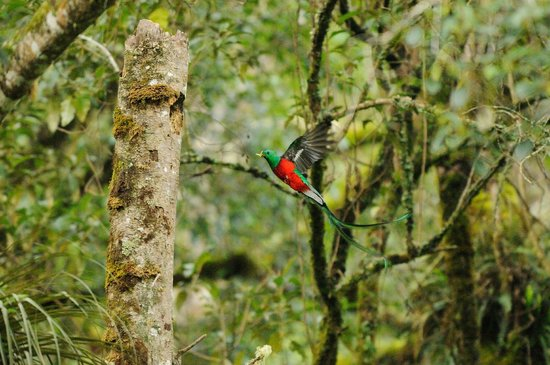 Trogon Lodge San Gerardo de Dota: A beautiful Quetzal