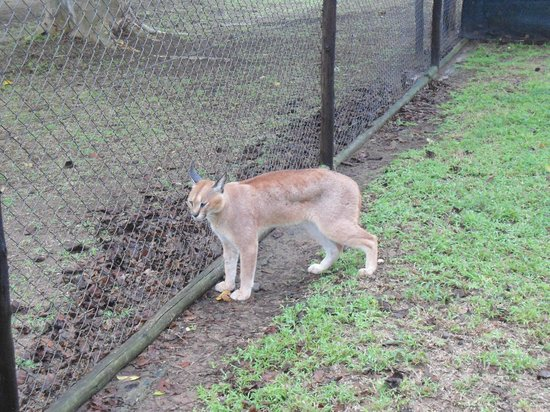 เอมโดเนนีลอดจ์: Emdoneni Cat Rehabilatation, inside with the Caracal!