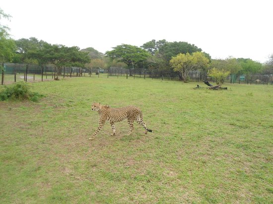 Emdoneni Lodge: Emdoneni Cat Rehabilitation Centre - Inside the Cheetah Enclosure!