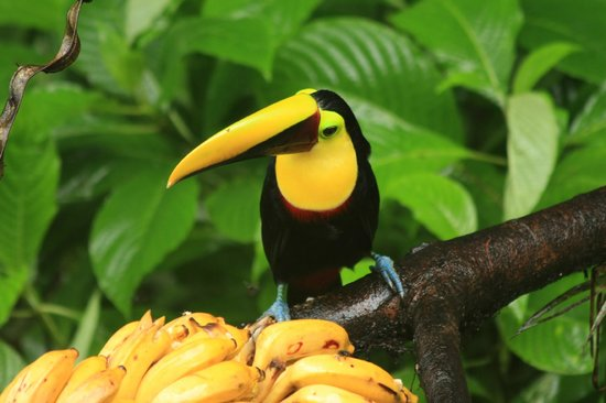 Selva Verde Lodge: toucan