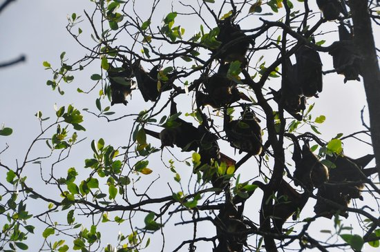 Dan Irby's Mangrove Adventures: Flying foxes