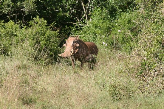 Schotia Safaris Private Game Reserve: A warthog with dignity