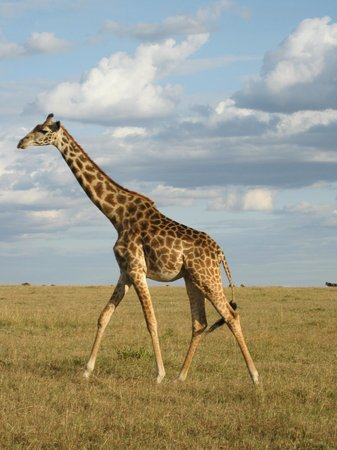 Royal Mara Safari Lodge: Giraffe