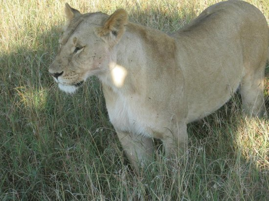 Royal Mara Safari Lodge: Lioness